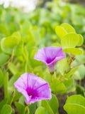 Flor fresca del primer de la correhuela de la playa (pes-caprae del Ipomoea) fotografía de archivo libre de regalías