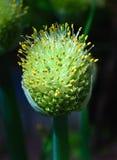 Flor fresca do alho Fotos de Stock