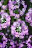 Flor fresca do miosótis no jardim Fotos de Stock Royalty Free