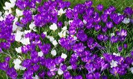 Flor fresca dos açafrões na mola Foto de Stock Royalty Free