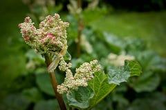 Flor fresca emergente del ruibarbo del jardín Foto de archivo libre de regalías