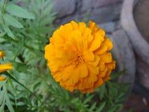 Flor fresca por completo florecida de la maravilla Foto de archivo libre de regalías