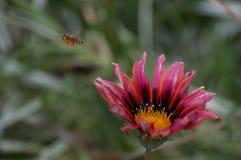 Flor fresca y una abeja Fotos de archivo libres de regalías