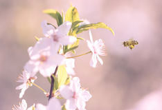 Flor fresco de la flor de la primavera en árbol Imagenes de archivo