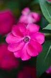 Flor fucsia Imágenes de archivo libres de regalías