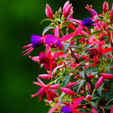 Flor fucsia Foto de archivo
