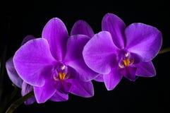 Flor fucsia de la orquídea Foto de archivo