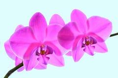 Flor fucsia de la orquídea Imagenes de archivo