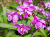 Flor fucsia en la plena floración que muestra su color púrpura brillante Imagen de archivo libre de regalías