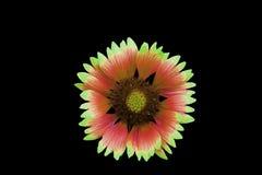 Flor, fundo preto isolado Macro Branco, amarelo, cor-de-rosa, lilás, roxo, verde, vermelho Fotos de Stock