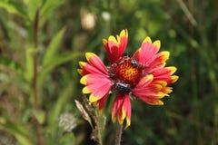 Flor, gaillardia y abeja Fotografía de archivo libre de regalías