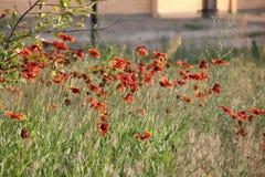 Flor, gaillardia y abeja Foto de archivo libre de regalías
