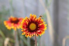 Flor, gaillardia y abeja Imagen de archivo libre de regalías