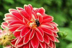 Flor Georgina con la abeja, lado de la dalia de la visión Fotos de archivo libres de regalías