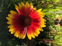 Flor geral do Gaillardia Imagens de Stock Royalty Free