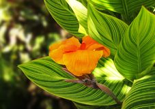 Flor gigante de Canna fotografía de archivo libre de regalías