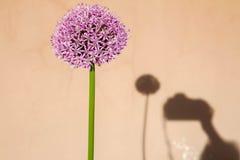 Flor gigante de la cebolla Foto de archivo libre de regalías