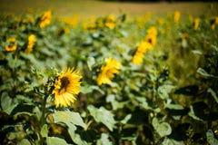 Flor girasol sunflower. Macro photo of sunflowers with difunimate background Stock Photo