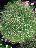 Flor gitana Foto de archivo