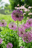 Flor globular Imagem de Stock Royalty Free
