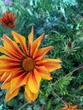 Flor grande alaranjada Foto de Stock Royalty Free