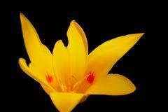 Flor grande amarela fotografia de stock royalty free