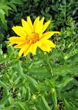 Flor grande amarilla Imagenes de archivo