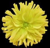 Flor grande amarilla, centro verde claro en un fondo negro aislado con la trayectoria de recortes primer flor lanuda grande Para  Imágenes de archivo libres de regalías