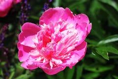 Flor grande cor-de-rosa da peônia Foto de Stock