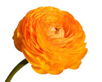 Flor grande de la amapola Imagenes de archivo