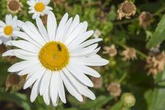 Flor grande de la margarita en un jardín Fotografía de archivo libre de regalías