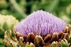 Flor grande de la púrpura de la placa frontal Imagen de archivo libre de regalías