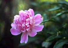 Flor grande de la peonía en un fondo verde fotos de archivo