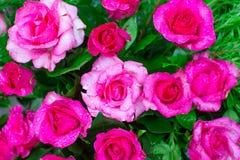 Flor grande de la rosa del rosa con el descenso del agua y del fondo verde Imagen de archivo libre de regalías