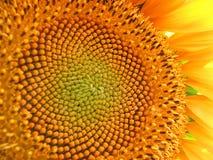 Flor grande de Sun Fotografía de archivo