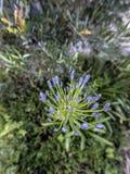 Flor grande del añil Fotografía de archivo libre de regalías