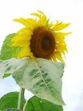 Flor grande del girasol Foto de archivo