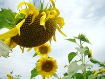 Flor grande del girasol Fotos de archivo libres de regalías