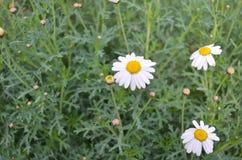 Flor grande en la margarita blanca de la hierba una en una hierba Fotos de archivo libres de regalías