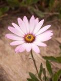 Flor grande hermosa con los pétalos rosados y blancos Foto de archivo libre de regalías