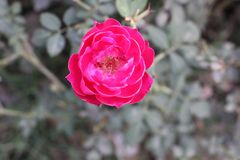 Flor grande original de Rose Imágenes de archivo libres de regalías