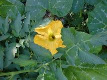 Flor grande y amarilla de la calabaza Fotografía de archivo libre de regalías