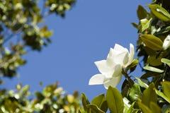 Flor grandiflora de la magnolia blanca Fotografía de archivo
