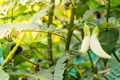 Flor grandiflora de Sesbania Poiret fotos de archivo