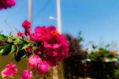 Flor grega Imagens de Stock