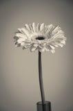Flor gris del gerber en florero Fotos de archivo