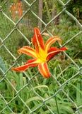 Flor Groweing a través de una cerca Fotos de archivo libres de regalías