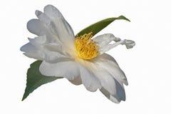 Flor híbrida da camélia de Elaine Lee Foto de Stock
