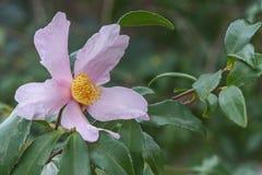 Flor híbrida da camélia do orgulho de Ashton Fotos de Stock