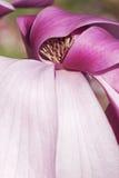 Flor híbrida da magnólia da galáxia Fotografia de Stock